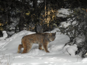 lynx kills a marten