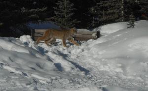 Lynx at Spray Lakes Road